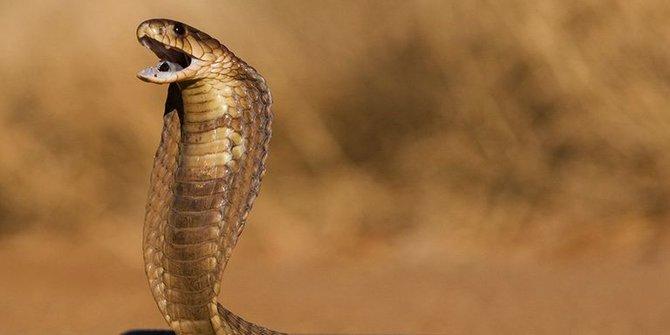 MENGERIKAN! Pemuda Ini Dikejar Ular Kobra Sejauh 2 Kilometer