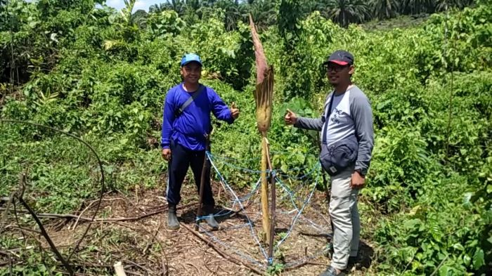 Bunga Bangkai 1,7 Meter Muncul di Kota Intan Rohul