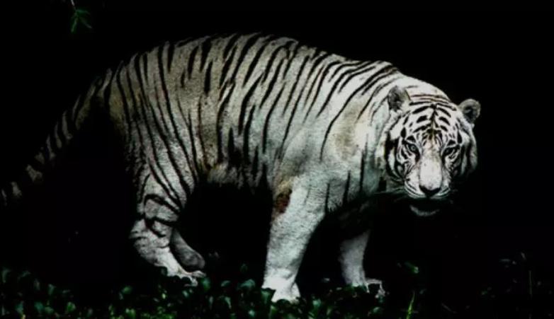 SEREEM!!! Kabarnya, Desa Tasik Raya, Inhil ada Harimau Jadi-jadian