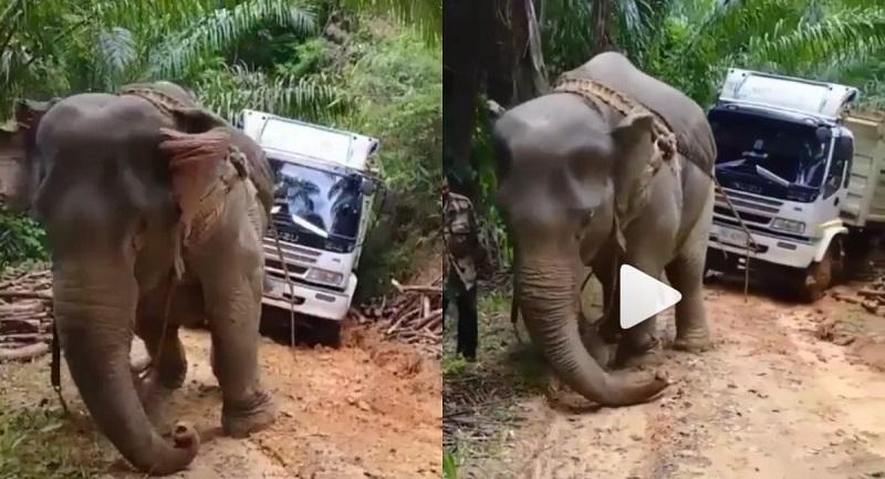 Bikin Ngelus Dada! Gajah Tarik Truk Terjebak di Jalan Berlumpur. Netizen: Gue Laporin ke Satpol PP