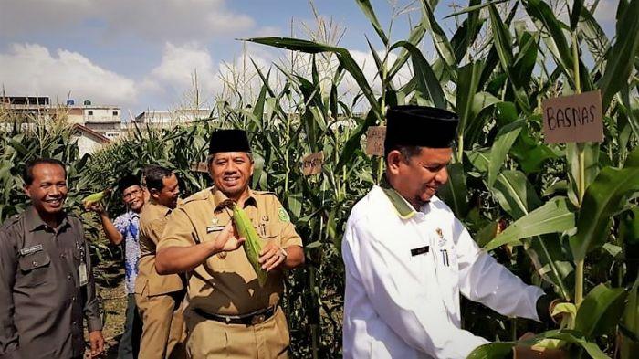Alfedri Panen Jagung Bersama Petani Binaan Baznas Siak