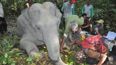 Bagaimana Dokter Mengoperasi Dita, Gajah kecil, di Hutan Riau