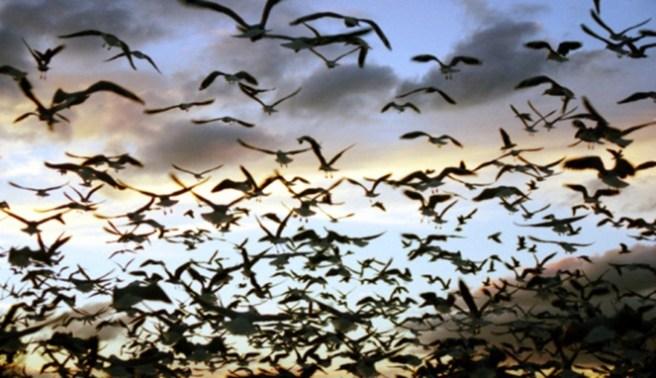 Fakta Ababil Burung Perkasa Yang Diciptakan Untuk Membunuh