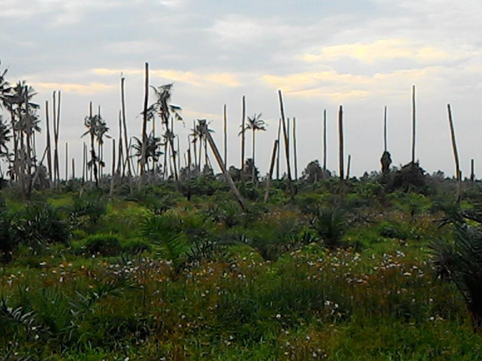 Kebun Kelapa Rusak Parah, Surya Dumai Harus Tanggung Jawab