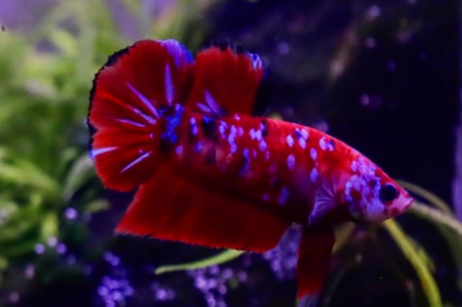 Ikan Cupang Hias Api-Api Aset Berharga Riau