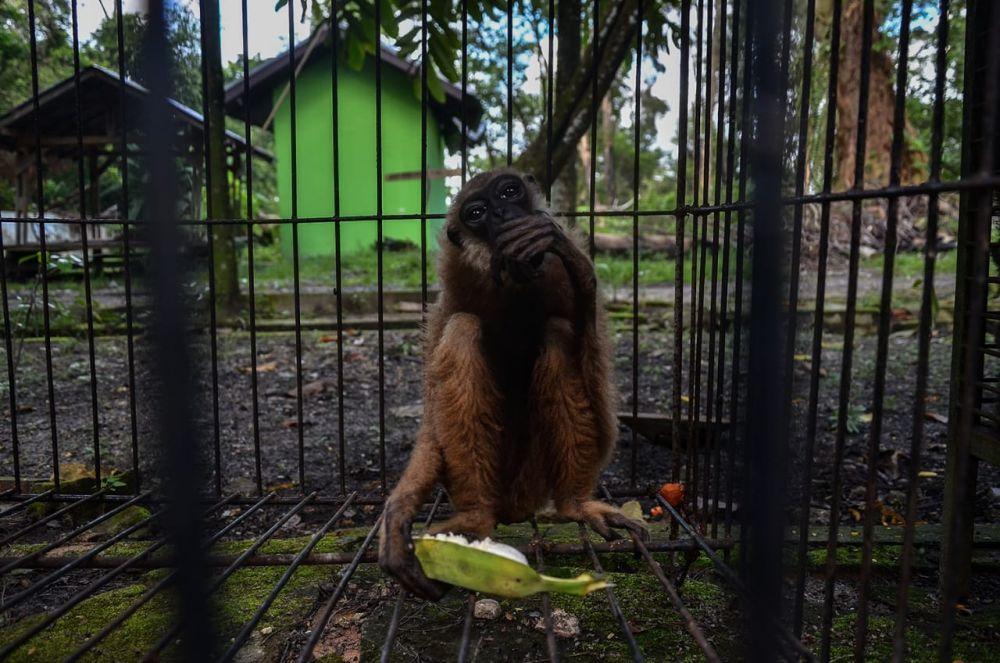BBKSDA Riau Evakuasi Owa Ungko di Rumbai Pekanbaru