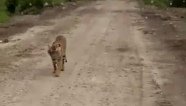 Tanggapan Kades Tanjung Simpang Tentang Cerita Anak Harimau yang Dimakan Warga